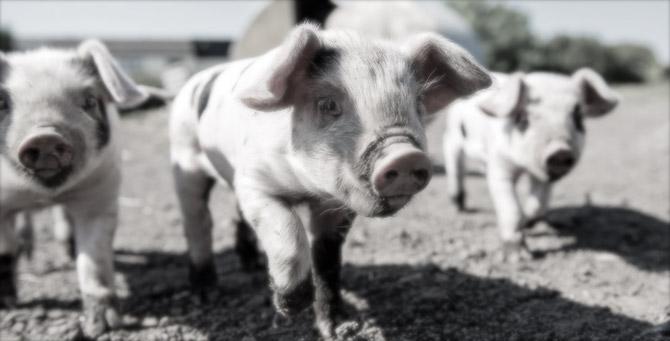 [Komentar] Naše svinje so zaslovele po vsej Evropski uniji in dokazujejo, da smo Slovenci idioti
